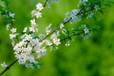 Free Blooming Cherry-tree Royalty Free Stock Photo - 21287895
