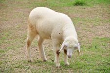 Free Sheep Is During Eat Grass Stock Photos - 21288523