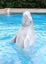 Free Performing Beluga Whale Royalty Free Stock Images - 21294579