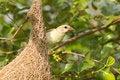 Free Female Baya Weaver Bird Stock Images - 21295574