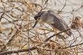Free Black Crowned Night Heron Stock Images - 21297404