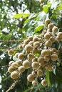 Free Longan Fruit And Tree Royalty Free Stock Photos - 21299888