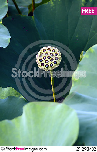 Free Lotus Stock Photography - 21298482