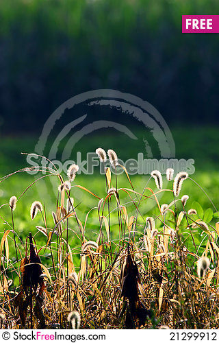 Free Dog S Tail Grass Stock Photography - 21299912