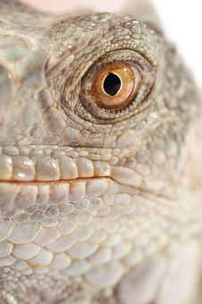 Free Green Iguana Snout Royalty Free Stock Photography - 21290127