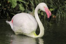 Free Greater Flamingo Royalty Free Stock Images - 21290249