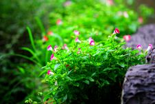 Free Morning Glory On Rock Stock Images - 21291094