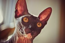 Free Cat With Big Eyes And Ears Royalty Free Stock Photos - 21291728