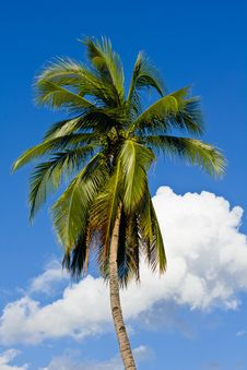 Free Coconut Tree With Blue Sky Royalty Free Stock Images - 21291749