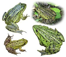Collage From Four Frogs Stock Images