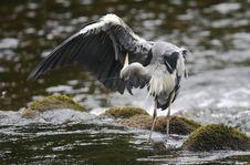 Free Grey Heron (Ardea Cinerea) Preening Royalty Free Stock Image - 21292746