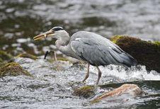 Free Grey Heron (Ardea Cinerea) With Fish Royalty Free Stock Photo - 21292845
