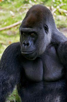 Silverback Gorilla Stock Images