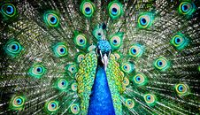 Free Peacock Canvas Stock Photo - 21294370
