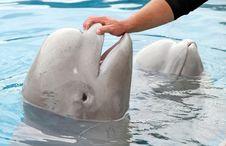 Free Beluga Whale Love Stock Image - 21294501