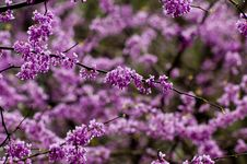 Free Single Redbud Blooms On Tree Stock Image - 21295151