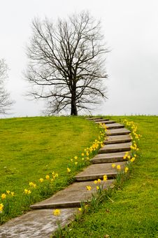 Yellow Daffodils Along A Path. Royalty Free Stock Image