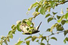 Free Female Baya Weaver Bird Royalty Free Stock Images - 21295529