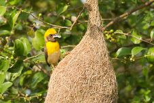 Free Male Baya Weaver Bird Stock Image - 21295611