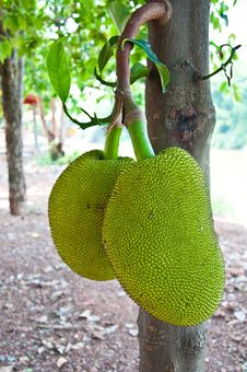 Jackfruit Of Thailand Royalty Free Stock Photo