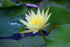 Free Water Lily Royalty Free Stock Image - 21296716
