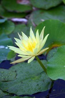 Free Water Lily Royalty Free Stock Photos - 21296768