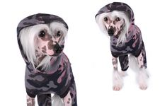 Chinese Crested Dogs Portrait Isolated On White Royalty Free Stock Photos