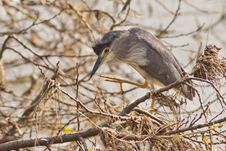 Free Black Crowned Night Heron Stock Images - 21297404