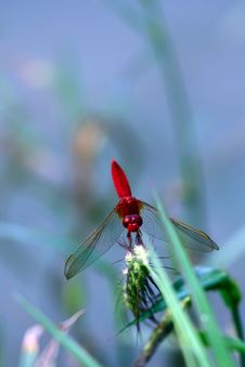 Free Red Dragonfly Royalty Free Stock Photo - 21297625