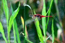 Free Red Dragonfly Stock Image - 21297671
