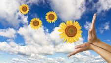Free Hands With A Sunflower On Background Stock Images - 21298124