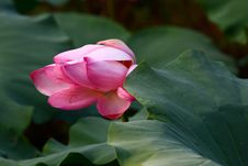 Free Pink Lotus Royalty Free Stock Photo - 21298245