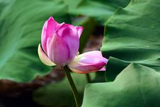 Free Pink Lotus Bud Stock Photos - 21298323