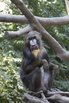 Free Mandrill Monkey Stock Images - 21298544