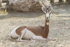 Free Gazelle Stock Image - 21298581