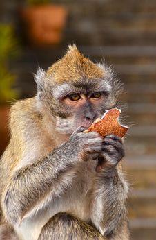 Free The Monkey Royalty Free Stock Photo - 21298665