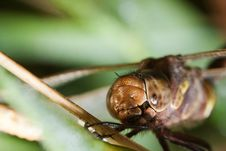 Free Close Up Of A Common Darter Dragonfly Royalty Free Stock Photo - 21298845