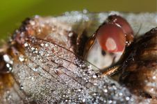Free Close Up Of A Common Darter Dragonfly Royalty Free Stock Images - 21298859