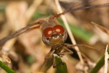 Free Close Up Of A Common Darter Dragonfly Stock Photo - 21298860