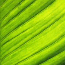 Free Green Leaf Royalty Free Stock Images - 21299119