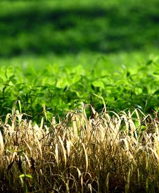 Free Dry Grass Royalty Free Stock Images - 21299639