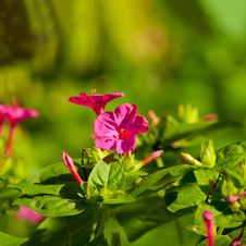 Free A Beautiful Flowerbed With Pink Flowers Royalty Free Stock Photography - 21299687