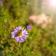 Bee Collects Nectar From A Flower Royalty Free Stock Photography