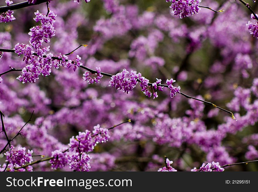 Single redbud blooms on tree