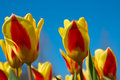 Free Colorful Dutch Tulips Royalty Free Stock Photo - 2138655