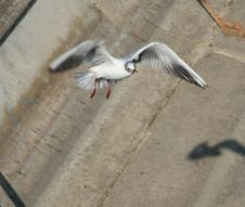 Free Sea-gull Royalty Free Stock Images - 2132399