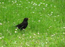 Free Blackbird Royalty Free Stock Images - 2134439