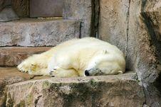Free Napping Polar Bear Stock Photo - 2135270