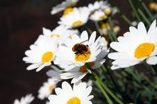 Free Daisy And Bumblebee Stock Photos - 2135963