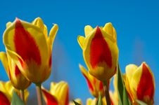 Colorful Dutch Tulips Royalty Free Stock Photo